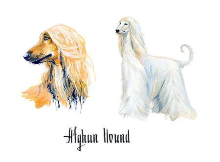 Afghan Hound. Gouache hand drawn illustration. 版權商用圖片