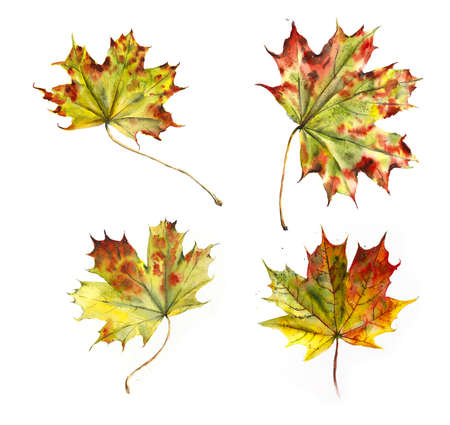 Maple leaves. Autumn collection. Watercolor hand drawing illustration