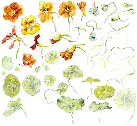 Frame from nasturtium. Watercolor hand drawn illustration