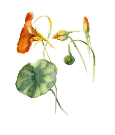 Flowers nasturtium. Watercolor hand drawn illustration Imagens