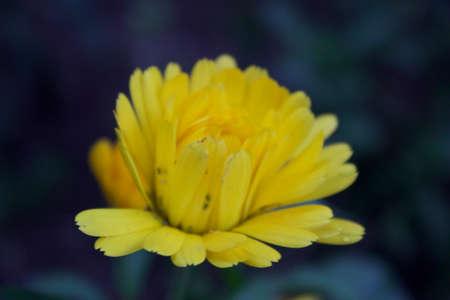 Yellow flower of Punta Arenas