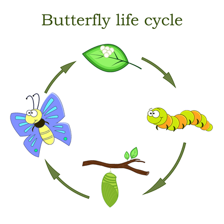 Butterfly life cycle in a cartoon style. Vector illustration. Children education.