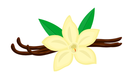 Colorful vanilla flower and pods illustration isolated on white background.
