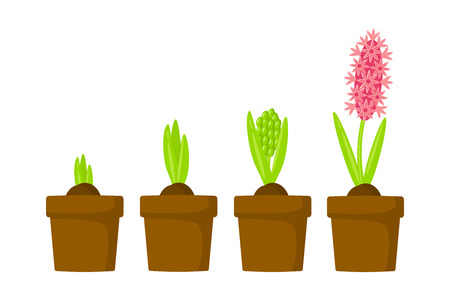 Hyacinth growth stage. Life cycle of hyacinth in a pot vector illustration