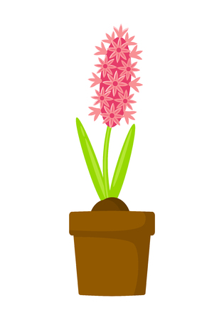 Pink hyacinth in pot vector illustration isolated on white background. Spring flowers