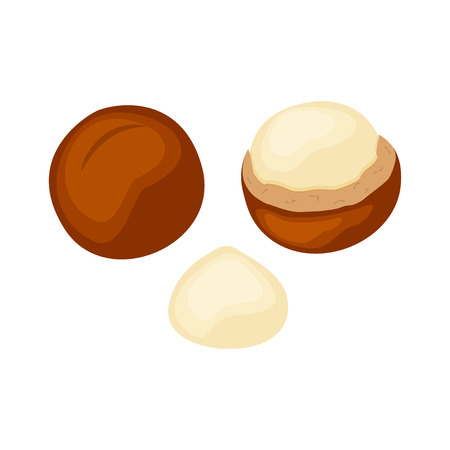 Set  of whole and half macadamia nuts vector illustration isolated on white background.