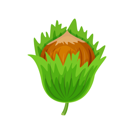Hazelnuts in green leaves vector illustration isolated on white background. Ilustracja