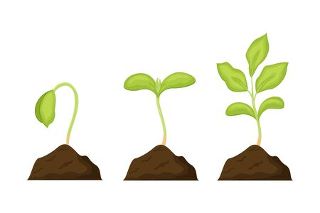 Seeds sprouts in a soil vector illustration isolated on white background. Phases plant growing. Seedling gardening plant.  Ilustracja