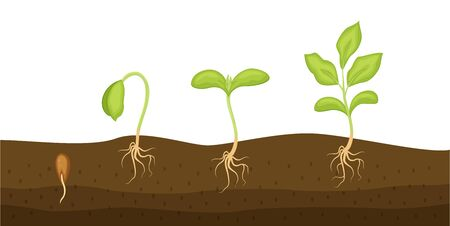 Seeds sprouts in a soil vector illustration isolated on white background. Phases plant growing. Seedling gardening plant.  Ilustração