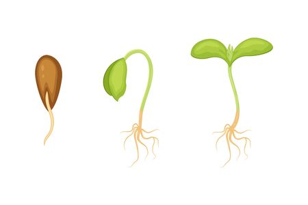 Seeds sprouts vector illustration isolated on white background. phases plant growing. Seedling gardening plant.  Ilustracja