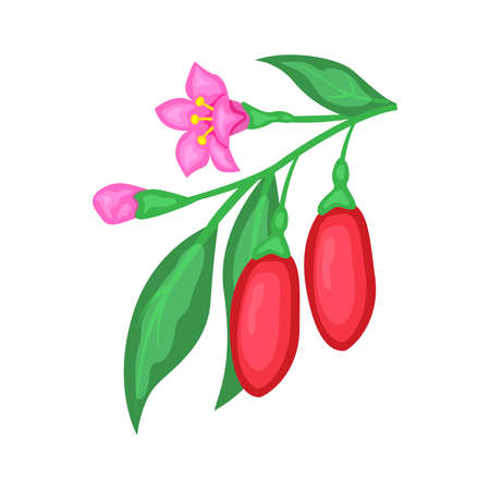 Superfood detox goji berries branch with flowers. Red berry  illustration isolated on white background.