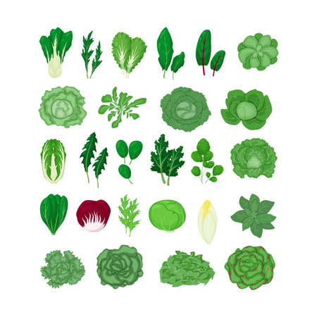 Green salad vegetables leaves set  illustration isolated on white background in a cartoon flat style. Natural lettuce leaf.