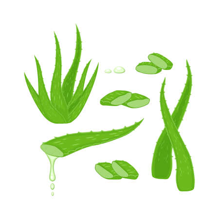 Set with Aloe Vera plant, leaves and different cutting pieces, juice drops elements vector illustration isolated on white background. Medicinal plant illustration. Illusztráció