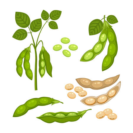 Set of Soy bean plant with ripe pods and green leaves, whole and half green and dry brown pods, soy seeds isolated on white background. Bush of legume plant in a cartoon flat style.