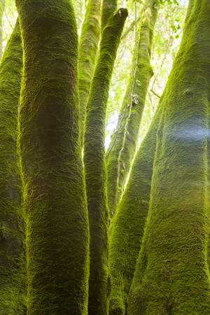 Trunks of trees covered with green moss in a linden forest on the island of La Palma, Canary Islands, Spain, were photographed during the trip I made on the island and on the excursion to the Nacientes de Marcos and Cordero. Banco de Imagens