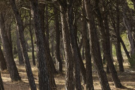 The trunks of a silent pine plantation in the Sanctuary of Misericordia, near Borja, in the province of Zaragoza, Spain.