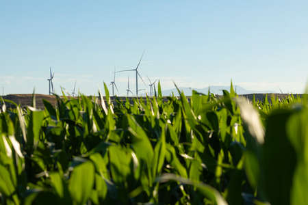 New wind turbines, recently installed in the municipal area of the town of Gallur, rotate with the wind over the corn fields in summer, community of Aragon, Spain. Archivio Fotografico