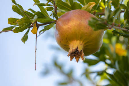 A delicious natural ripe pomegranate fruit hangs from the branches of a pomegranate tree, on a late August afternoon, in the small town of Agon, Zaragoza province.