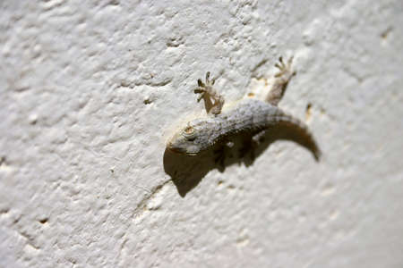Tarentola mauritanica, or common gecko, stuck to a white painted wall, sunbathing, in the town of Gallur, Spain.