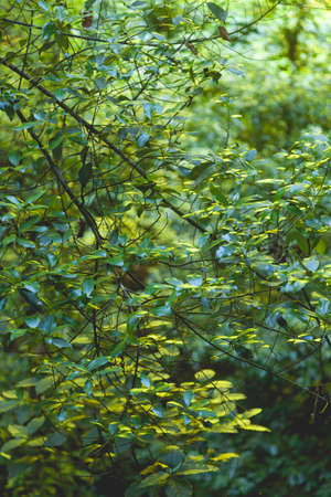 Green leaves in the linden forest on the island of La Palma, Canary Islands, Spain, next to the Nacientes de Marcos y Cordero, and National Park of Caldera de Taburiente.