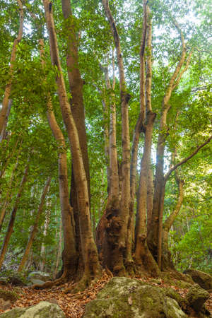 Trunks of trees in a linden forest on the island of La Palma, Canary Islands, Spain, next to the Nacientes de Marcos y Cordero, and National Park of Caldera de Taburiente.