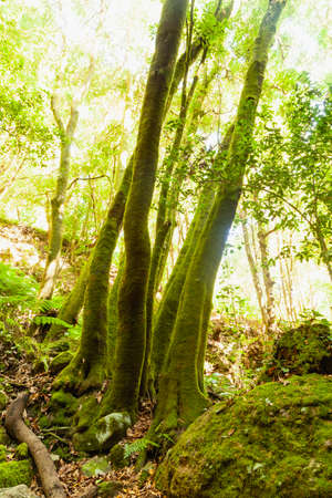 Trunks of trees covered with green moss in a linden forest on the island of La Palma, Canary Islands, Spain, next to the Nacientes de Marcos y Cordero, and National Park of Caldera de Taburiente.