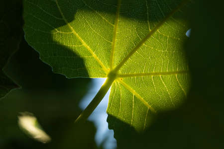 Detail of a fig leaf against the light on a summer afternoon. Ficus carica, an Asian species of flowering plant in the mulberry family, this specimen is located in the Retiro park, Madrid.
