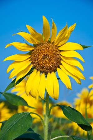 Sunflower flower in the park