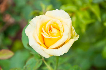 yellow rose: Yellow rose in the garden