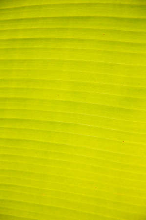 Close up of banana leaf texture photo