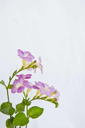 vetical: Flor violeta sobre fondo blanco Foto de archivo