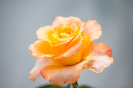 orange rose for gift and love photo