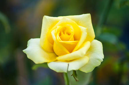 yellow rose in the garden photo