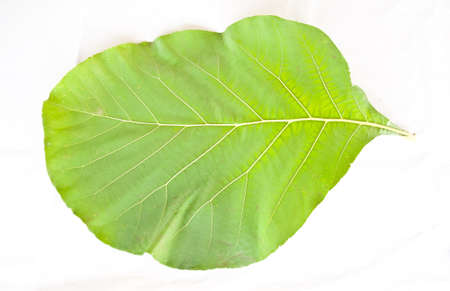 teak wood leaf on white background photo