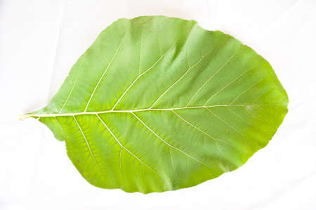 biggest: teak wood leaf on white background