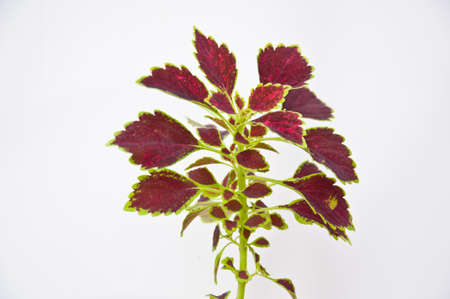 painted nettle leaf on white background