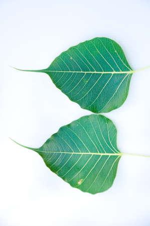 peepal tree: Bodh tree leaf on white background