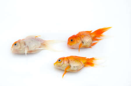 dead gold fish on white background photo