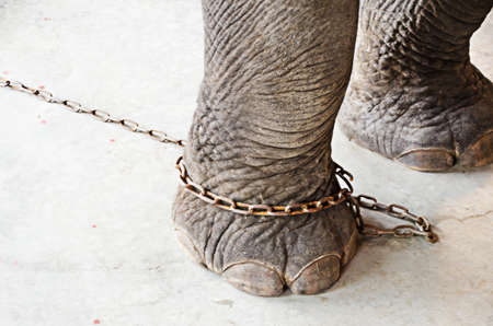 leg of elephant restricted by chain