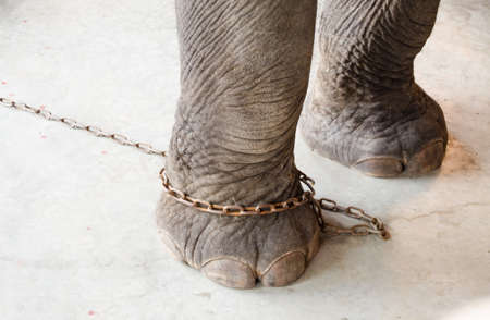 leg of elephant restrict ed by chain