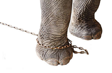leg of elephant restrict ed by chain on white background