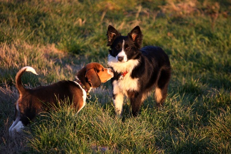 Two dog: beagle and border collie photo
