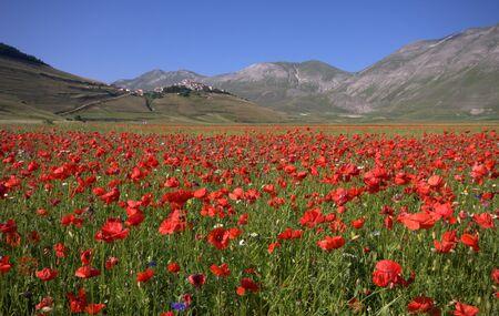A field of red Poppies  Zdjęcie Seryjne