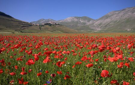 appennino: A field of red Poppies  Stock Photo