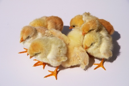 Scared group of chicks in front of a grey background