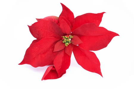 The typical plant of Christmas, Christmas Poinsettias Zdjęcie Seryjne - 9505195