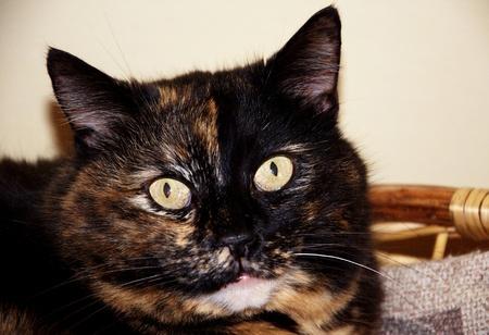 calico: Portrait of european calico cat Stock Photo