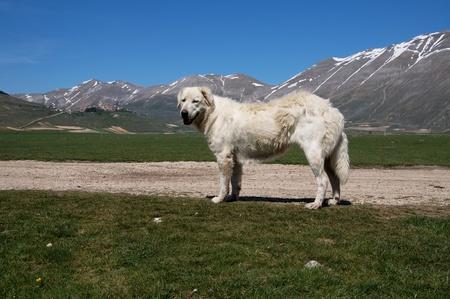 Castelluccio di Norcia with a big dog Stock Photo - 9505216