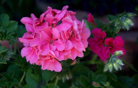 Close up of pink geranium