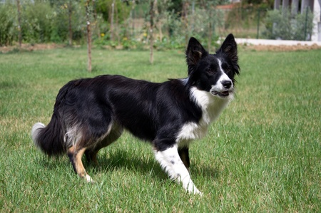 Border Collie playing in the garden